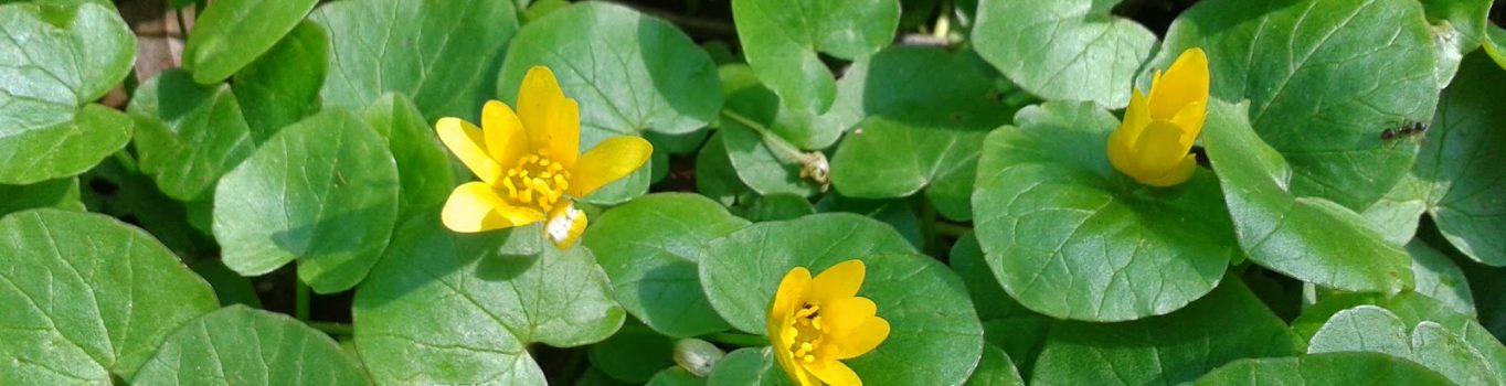 50 km z sentymentu do żółtego kwiatka